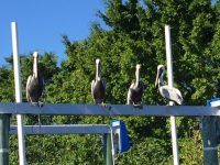 Pelicans perched on a boat lift. Tropical seabirds are everywhere on the creek. Wildlife abounds!